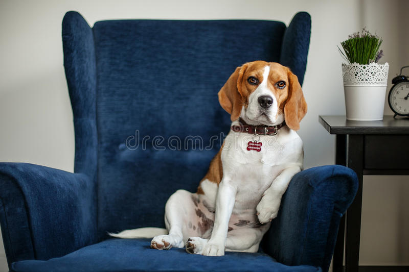Funny beagle dog sitting in the chair like a boss royalty free stock photography