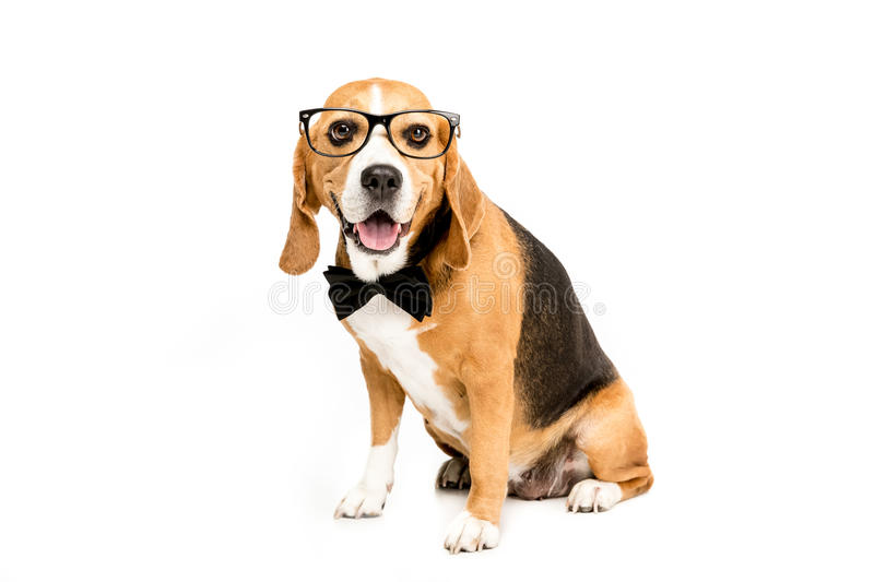 Funny beagle dog sitting in eyeglasses and bow tie royalty free stock image