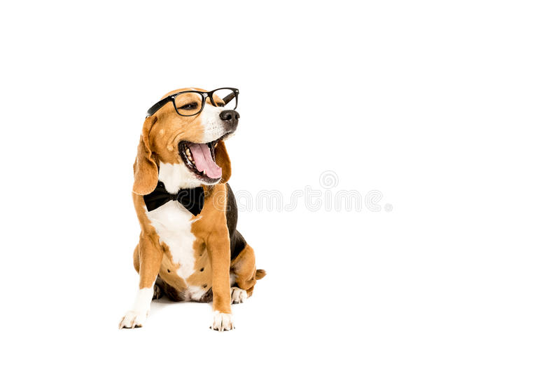 Funny beagle dog yawning and wearing eyeglasses and bow tie stock photo
