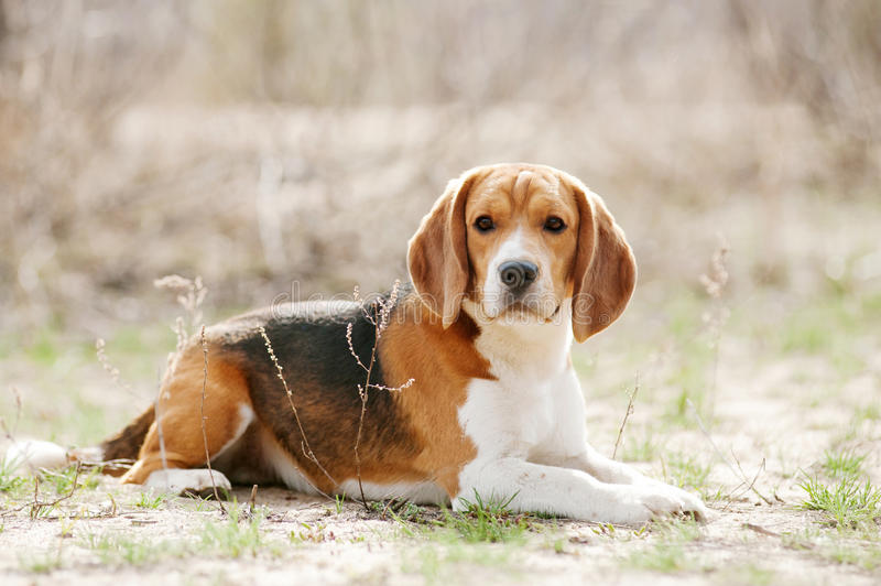 Funny beagle dog. Funny young beagle dog lying in spring stock photo
