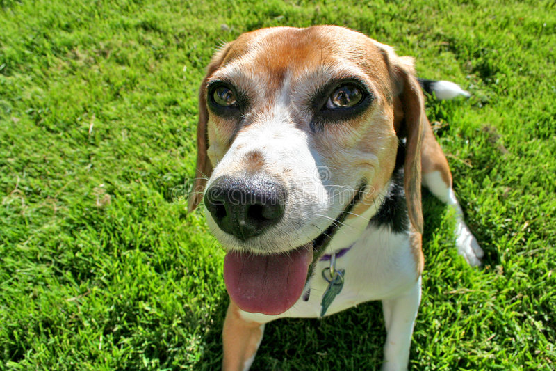 Funny Beagle portrait stock photos