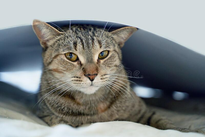 Funny beautiful funny cat lying on the bed. Funny beautiful funny cat with yellow lying on the bed royalty free stock image