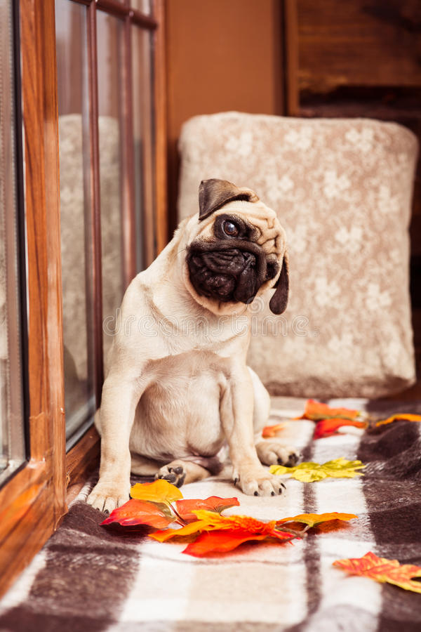 Funny beige puppy pug looking at the camera bowed head. Funny beige puppy pug looking at the camera bowed its head stock image