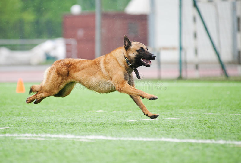 Funny Belgian Shepherd Malinois dog running. On stadium stock photography