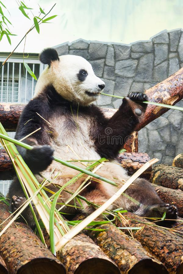 Funny big Panda sitting on the logs and eating bamboo. Panda in the Moscow zoo, Russia royalty free stock image