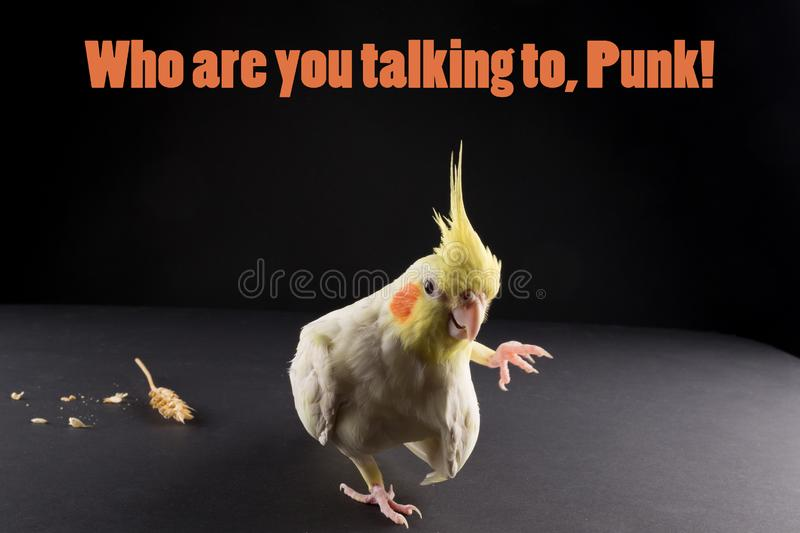 Funny bird memes, quote Who are you talking to, punk. Cute Lutino Yellow Cockatiel. royalty free stock image