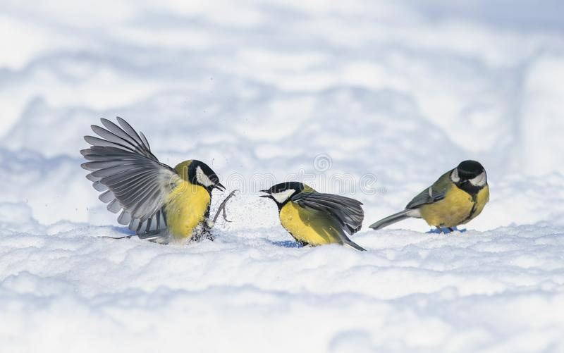 Little funny bird Tits fight waving their wings wide in the white snow in the winter garden royalty free stock image
