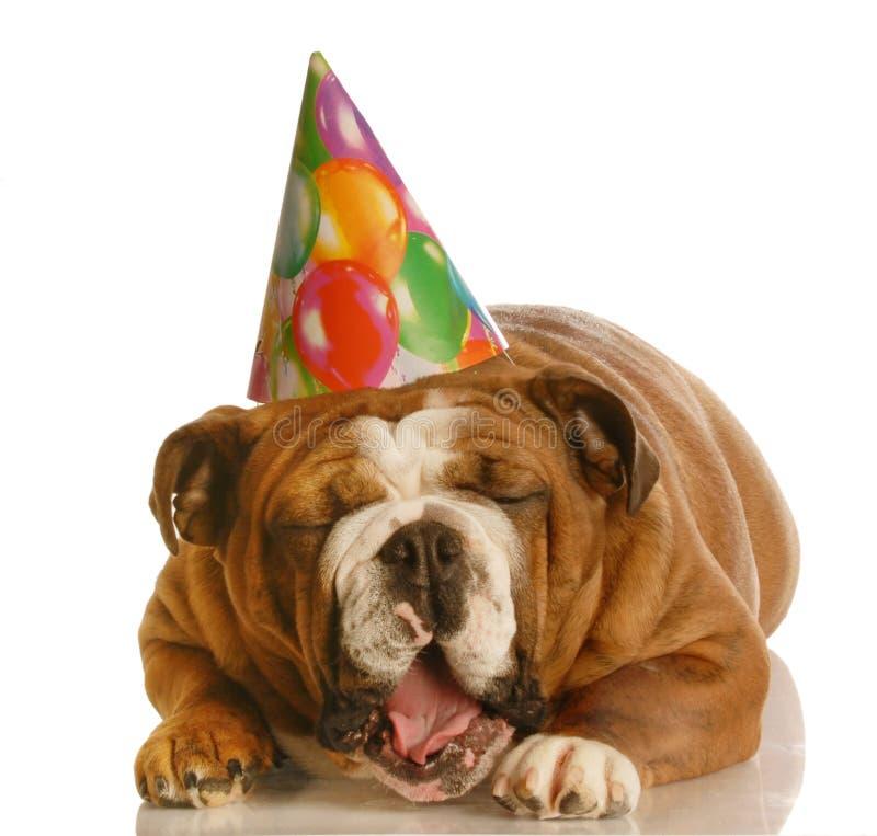 Funny birthday dog. English bulldog wearing birthday hat yawning isolated on white background royalty free stock photos