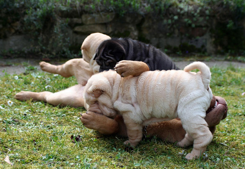 Funny with small sharpei puppies royalty free stock images