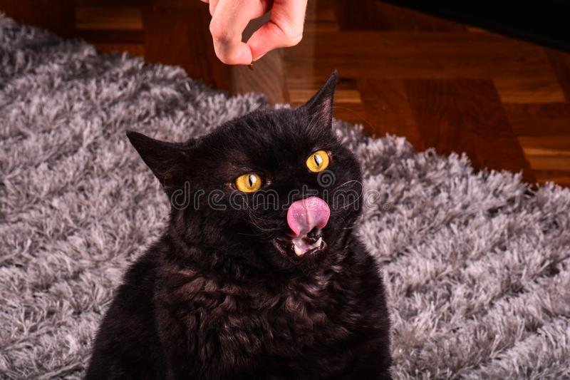 Funny black cat asking for a food. Hungry black cat licking his lips. stock images