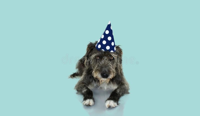 UNNY BLACK DOG CELEBRATING A BIRTHDAY, CARNIVAL OR NEW YEAR WITH A BLUE AND WHITE POLKA DOT PARTY HAT LYING DOWN. ISOLATED. FUNNY BLACK DOG CELEBRATING A royalty free stock image