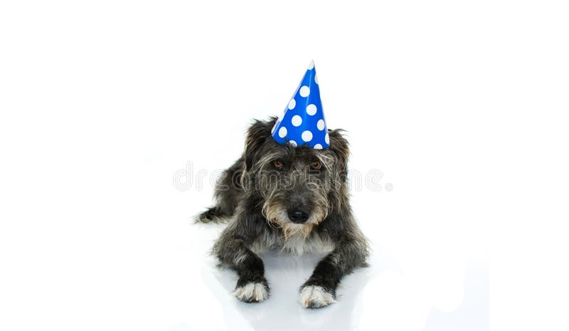 FUNNY BLACK DOG CELEBRATING A BIRTHDAY OR NEW YEAR WITH A BLUE AND WHITE POLKA DOT PARTY HAT LYING DOWN. ISOLATED AGAINST WHITE BA. CKGROUND WITH COPY SPACE stock photography