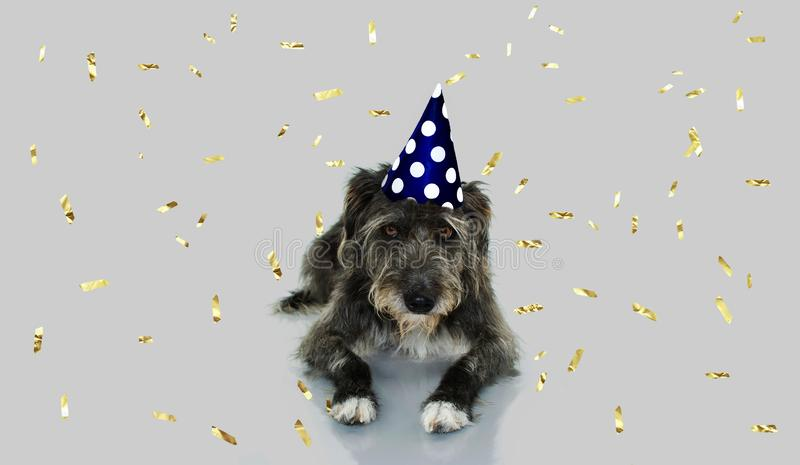 FUNNY BLACK DOG CELEBRATING A BIRTHDAY OR NEW YEAR WITH A BLUE AND WHITE POLKA DOT PARTY HAT LYING DOWN. ISOLATED AGAINST GRAY. BACKGROUND WITH GOLDEN CONFETTI royalty free stock photos