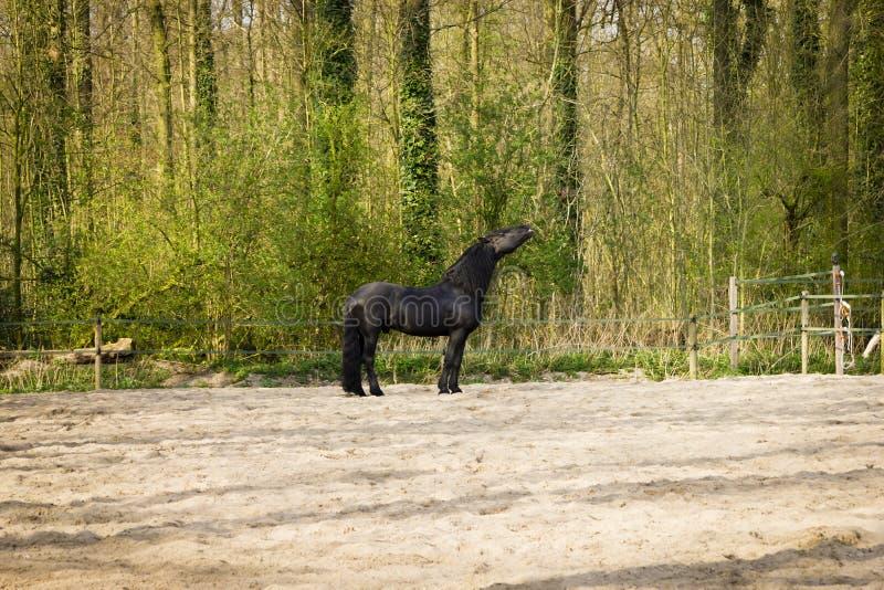 Funny black horse royalty free stock image