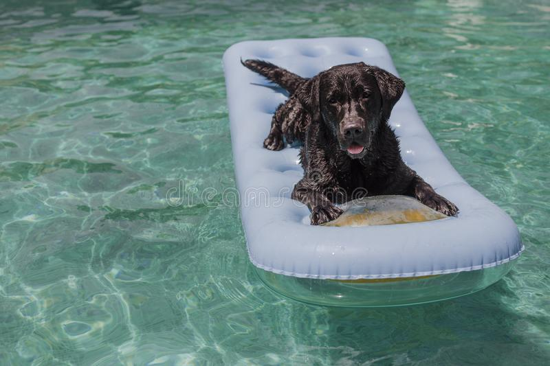 Funny black labrador lying on an inflatable pad and relaxing at the swimming pool. Holidays, relax and vacation with dogs concept stock images