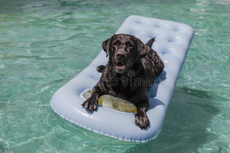 Funny black labrador lying on an inflatable pad and relaxing at the swimming pool. Holidays, relax and vacation with dogs concept royalty free stock photo