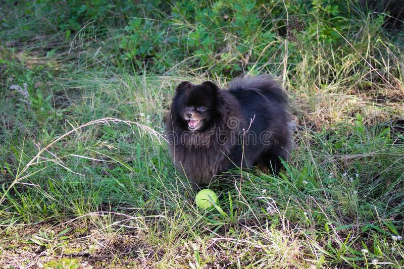 Funny black pomeranian spitz dog playing with the tennis ball royalty free stock image