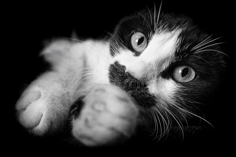 Funny black and white cat is stretching its legs stock photography