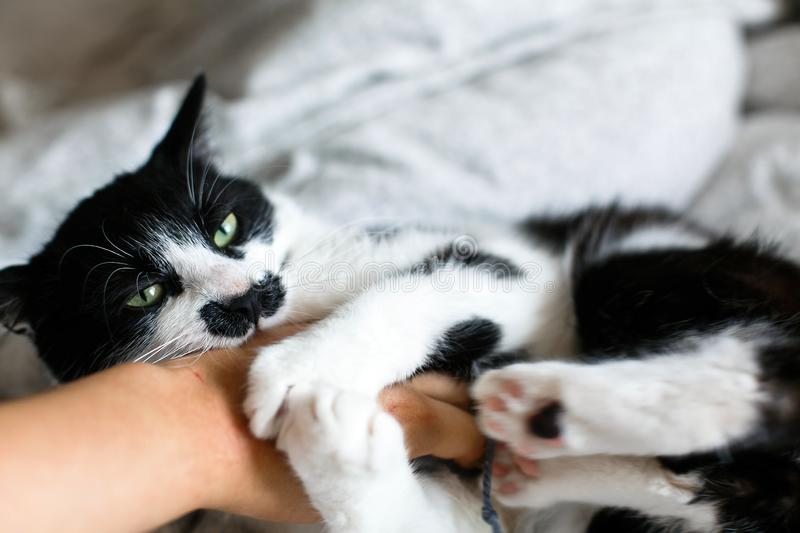 Funny black and white kitty with angry emotions bites girl hand and scratches on stylish sheets. Cute cat with moustache biting stock photo