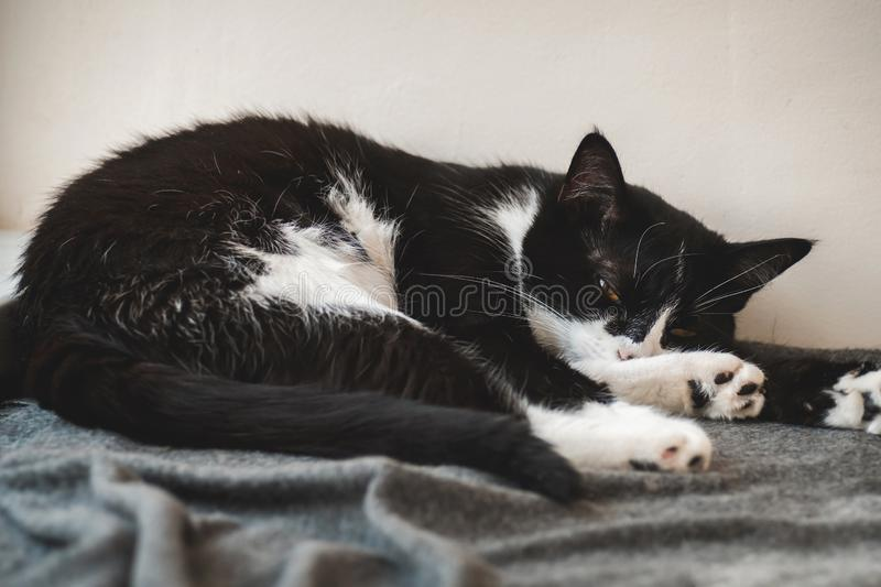 Funny black and white tuxedo cat lazily sleeping at the plaid. royalty free stock photo