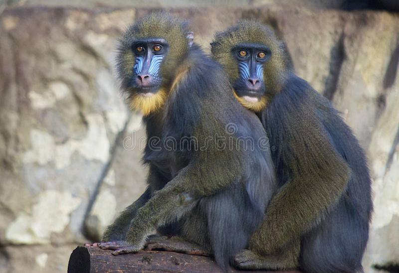 Download Funny blue face monkeys stock photo. Image of serious - 17781044