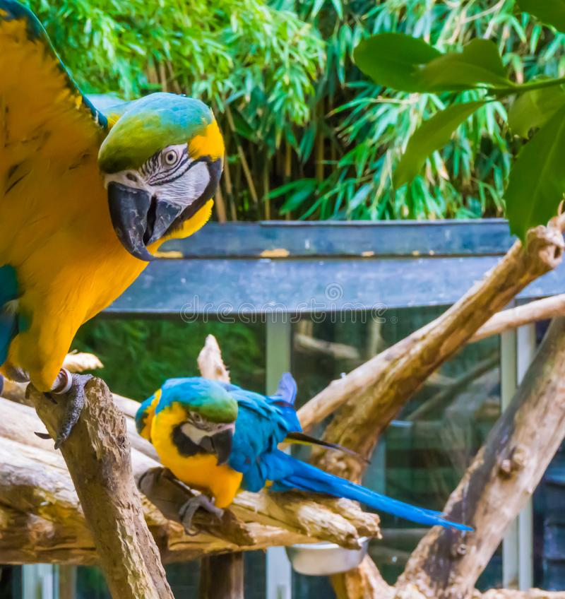 Funny blue and yellow macaw parrot in closeup spreading his wings open and looking in the camera with another macaw parrot in the stock images