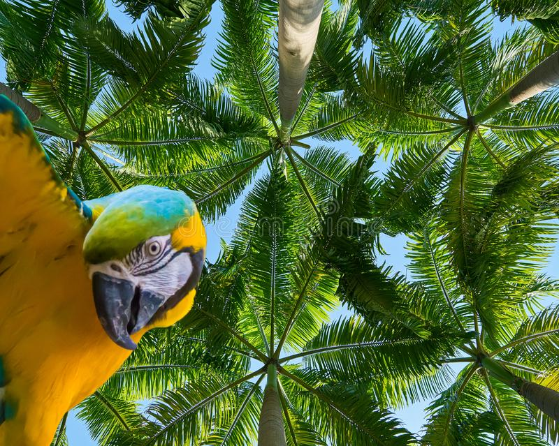Funny blue and yellow macaw parrot isolated on a beautiful tropical background with palm trees stock photography