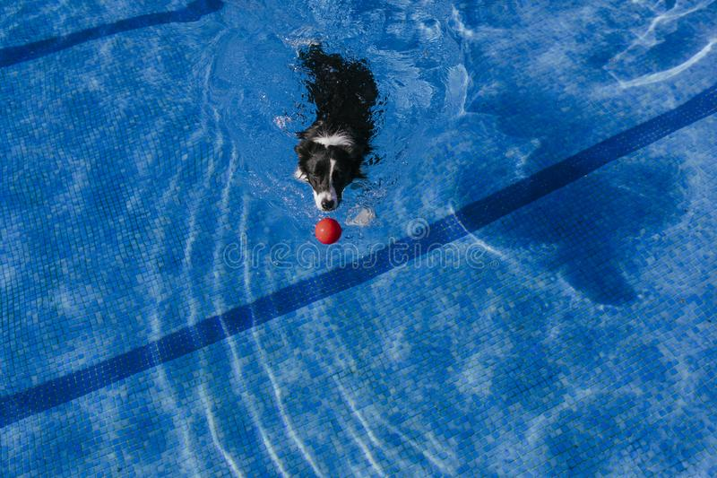 funny border collie dog swimming at the pool, playing with a toy ball. Summertime and lifestyle outdoors stock photos