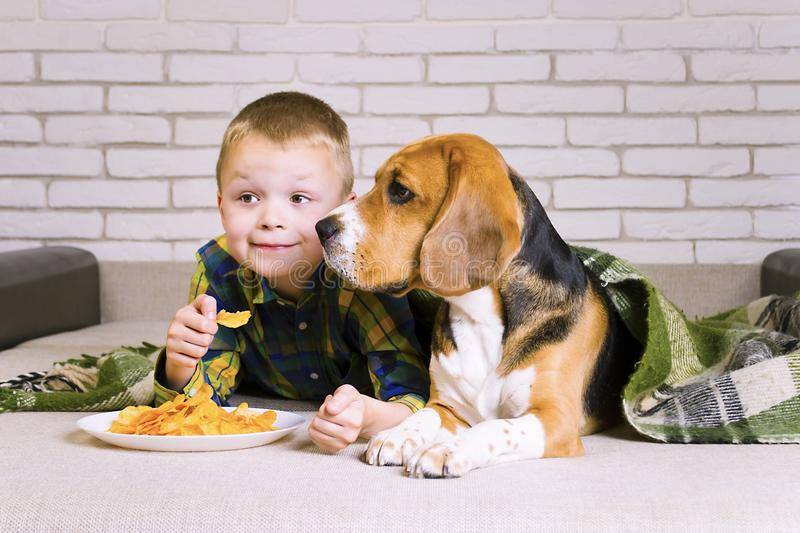 Funny boy and dog Beagle eating chips. On sofa in the room royalty free stock images