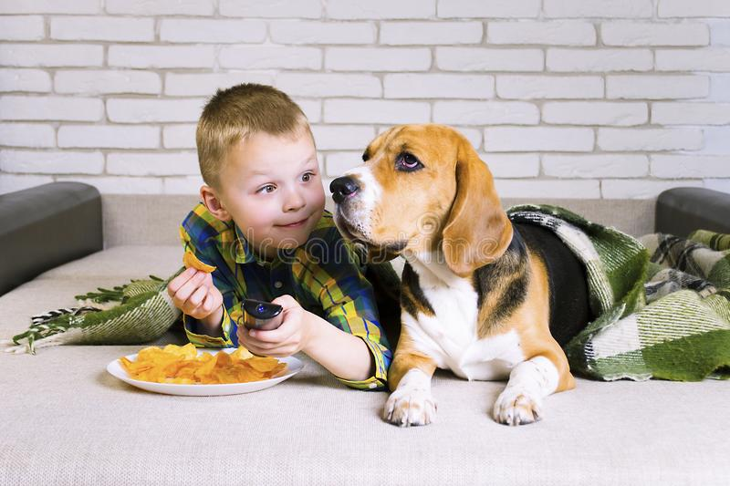 Funny boy and dog Beagle eating chips. On sofa in the room royalty free stock photography