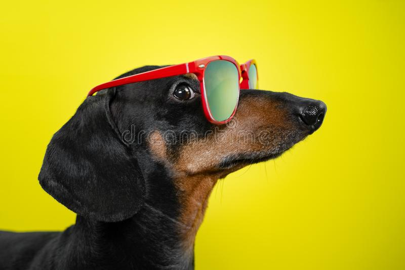 Funny   breed dog dachshund, black and tan, with sun glasses, yellow studio background, concept of dog emotions. Background for yo. Ur text and design stock photos