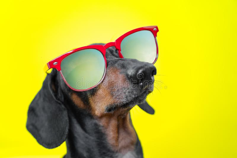 Funny   breed dog dachshund, black and tan, with sun glasses, yellow studio background, concept of dog emotions. Background for yo. Ur text and design stock photography