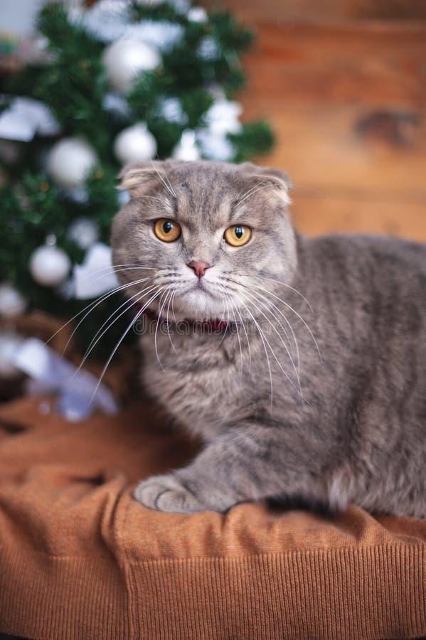 Funny british cat. With orange eyes royalty free stock image