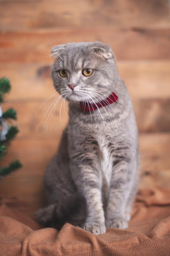 Funny british cat with orange eyes. And a bow-tie stock photo