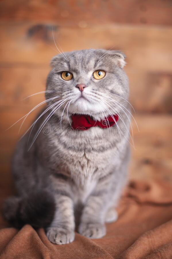 Funny british cat with orange eyes. And a bow-tie royalty free stock photos