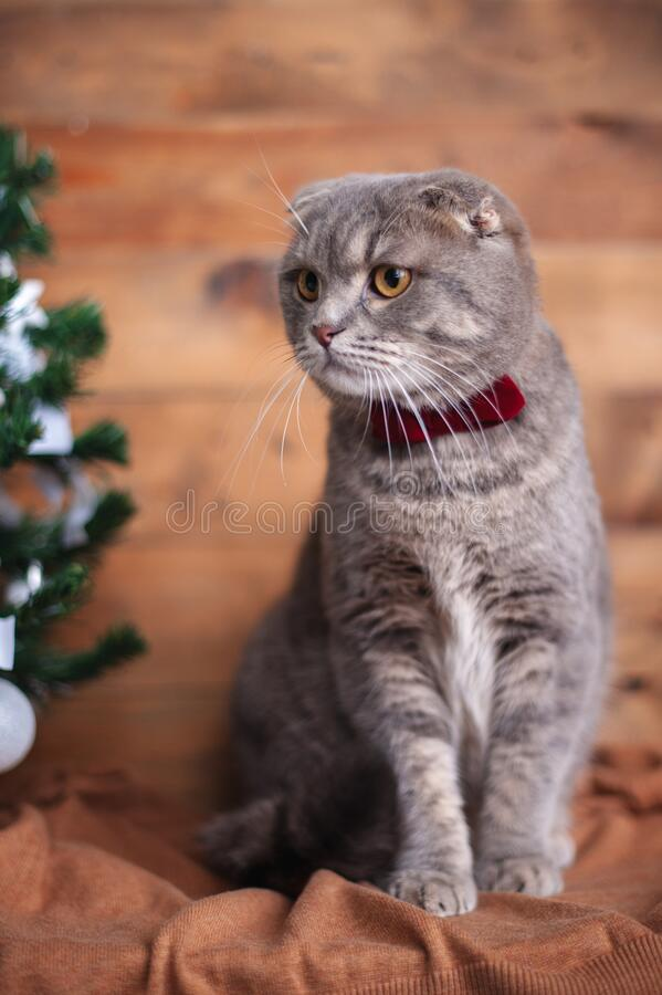 Funny british cat with orange eyes. And a bow-tie royalty free stock photo