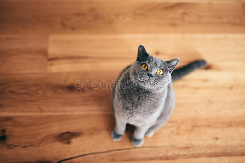 Funny British cat sitting and looking at the camera stock photo