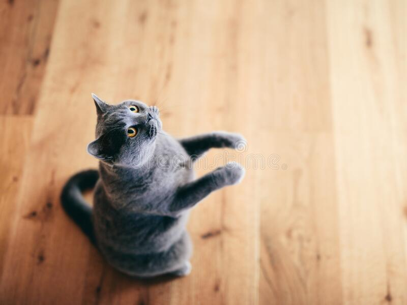 Funny British cat standing as if he was begging, asking stock photography