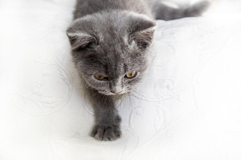 British shorthair cute kitten hunting in white background royalty free stock image