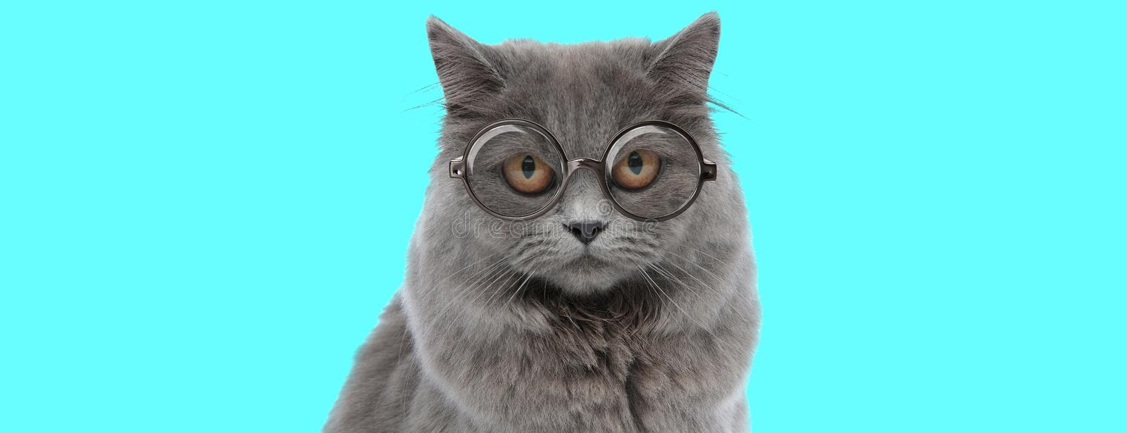 Funny British Longhair cat looking at camera with big eyes royalty free stock image