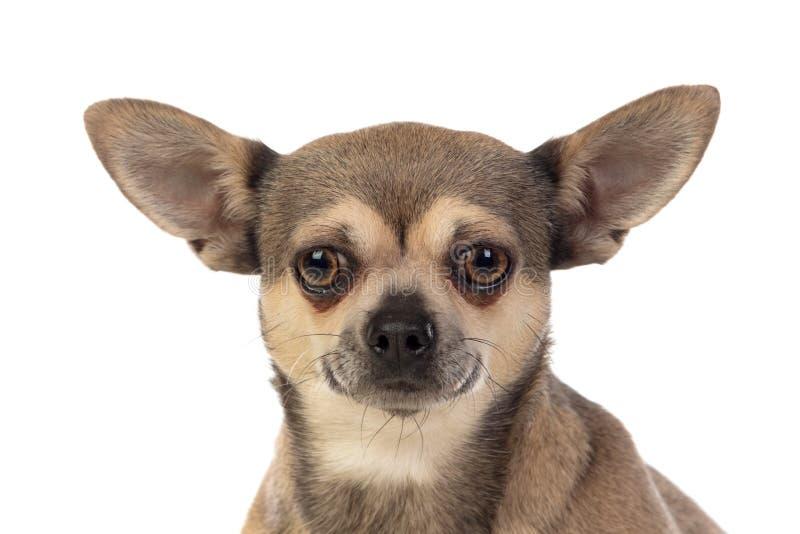 Funny brown Chihuahua met grote oren stock afbeeldingen