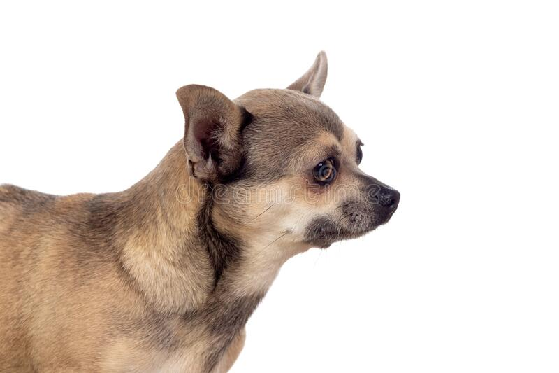 Funny brown Chihuahua met grote oren stock foto's