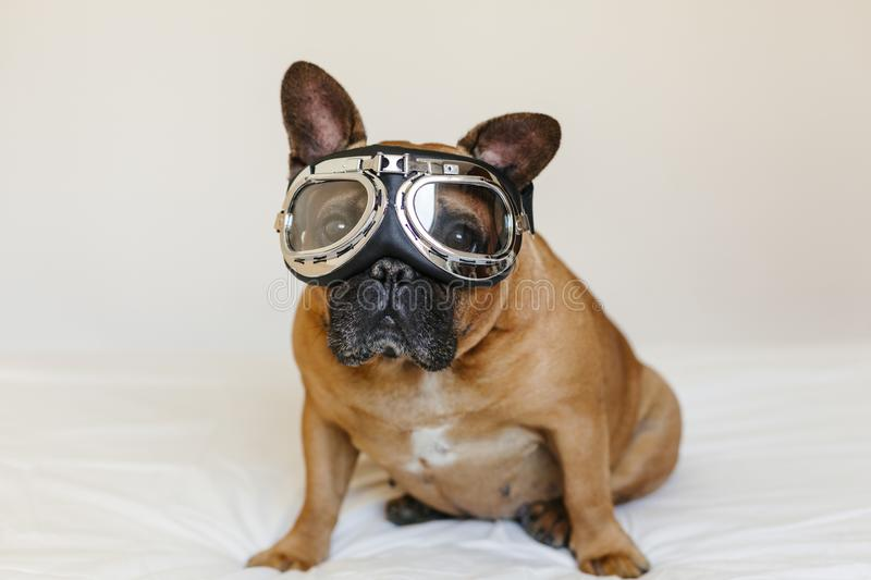 Funny brown french bull dog on bed wearing aviator goggles. Travel concept. Pets indoors and lifestyle stock photography