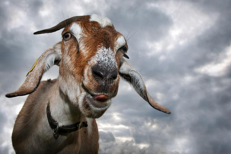 Goat shows his tongue royalty free stock photo