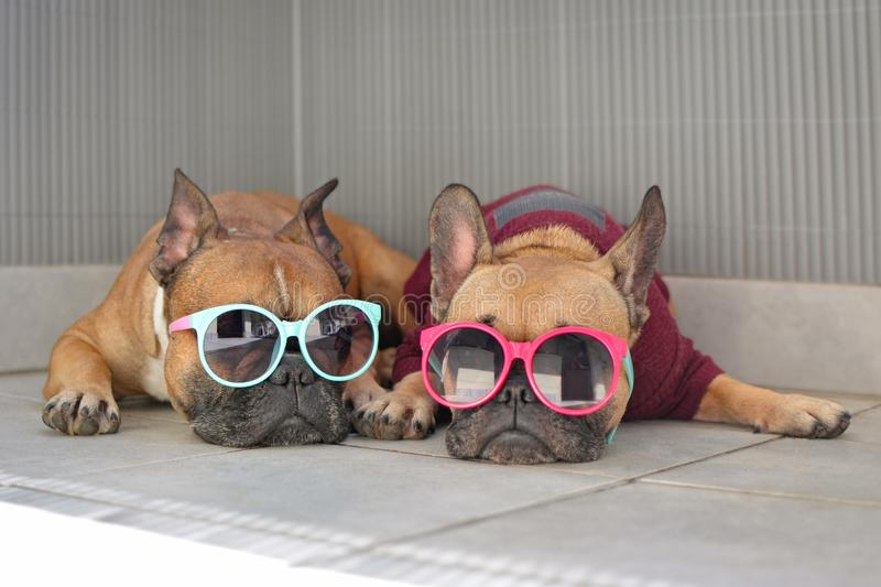 Funny brown small French Bulldog dogs lying relaxed in shade in summer wearing colorful sunglasses for children stock photography