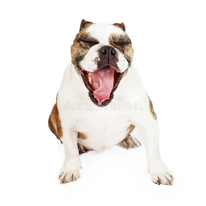 Funny Bulldog Yawning. Funny looking Bulldog with mouth wide open as he yawns stock image