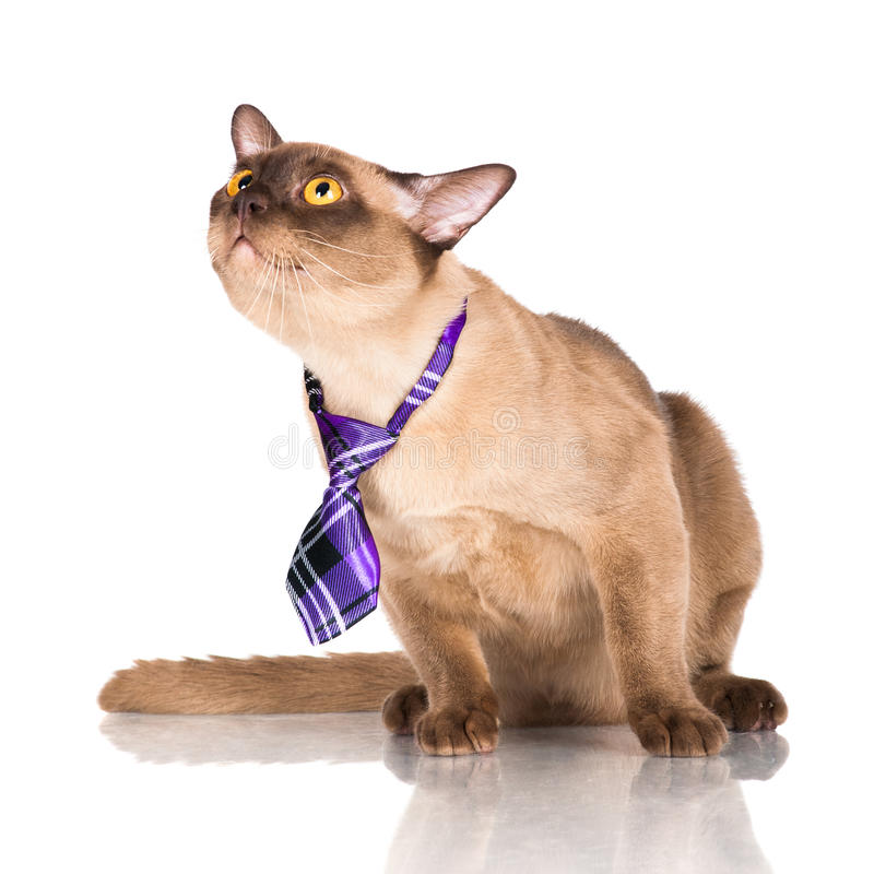 Funny burmese cat in a tie. Beautiful brown burmese cat on white stock photo
