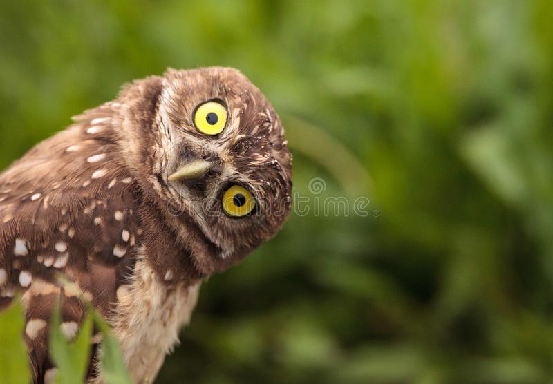Funny Burrowing owl Athene cunicularia tilts its head outside it. S burrow on Marco Island, Florida royalty free stock photography
