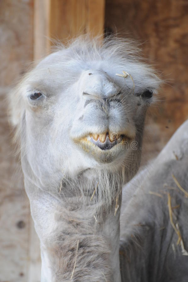 Funny Camel With Bad Teeth. This funny camel with its bad teeth is looking directly at you... can you help stock photo