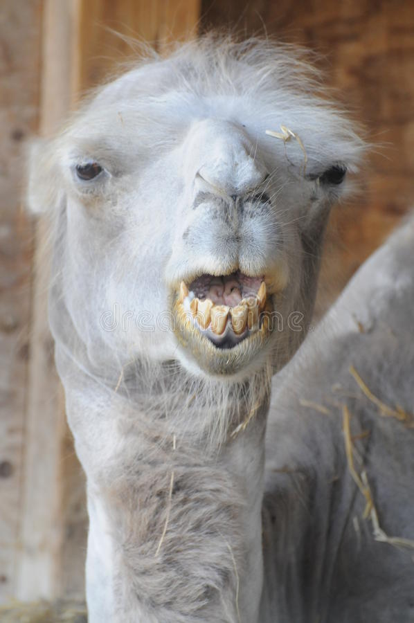 Funny Camel With Bad Teeth. This funny camel with its bad teeth is looking directly at you... can you help royalty free stock photo